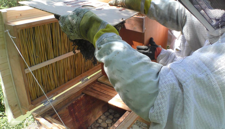 enruchement ruche Kényane